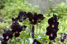 black violets  Violet - Modesty; calms tempers; induces sleep  Violet(blue) - Watchfulness; faithfulness; I'll always be true  Violet(white) - Let's take a chance on happiness