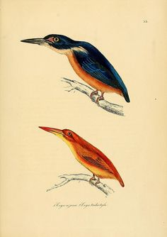 Illustrations of ornithology Dublin :Longman, Rees, Orme, Brown, & Green, and S. Highley ;[1826-1835]
