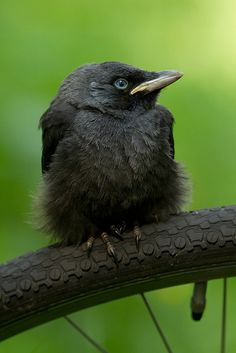 Crows Ravens:  Baby #crow.