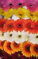 Bulk Gerbera Standard.  Starting at $152.99.   Common Name: Gerbera Daisy, Gerbera, Transvaal Daisy, Barberton Daisy, African Daisy    Description: Large daisy-like flower, with heads 3-5 inches wide. Flat at end of scape, the outer rows of ray flowers have colorful, strap-shaped petals. Inner disk flowers, tubular scape. Leafless, 24-36 inches long. Can be hollow.
