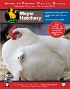 Layer Fancy: Rumpless Ear Tufts: According to the latest theory I've seen, the breed was developed in Chile from a cross between the Collonca and the Queteros, two of several different blue egg-laying chicken breeds and introduced to North American in