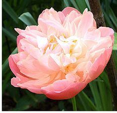Planting and Caring for Peonies - Fall is the correct time for planting peonies in order to give the plants a chance to become established before bloom time in the spring.