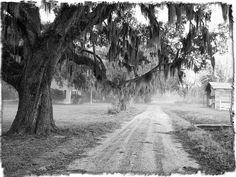 Lowcountry - Live Oak