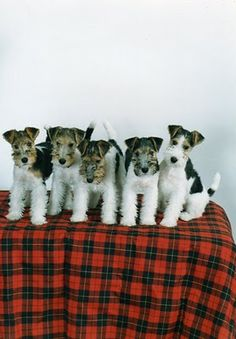 too many terriers