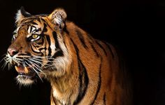 Tiger Ratu