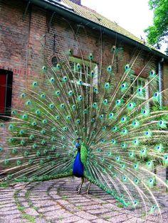 Beautiful! Peacock
