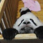 escaping panda