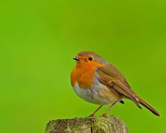 Google Image Result for http://www.freemages.co.uk/album/animaux/american_robin.jpg