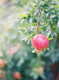 pomegranate | jen huang photo