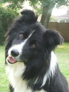 Border Collie such smart and sweet dogs.