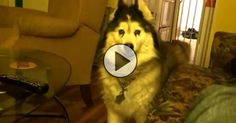 This Husky Is Being Called The Funniest Dog In The World. I Agree!!