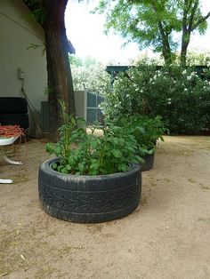 Potatoes grown in old tires...need to this a try