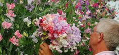 those Brits really know how to grow sweetpeas