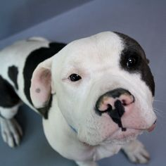 *BALDRIC-ID#A683420    Shelter staff named me BALDRIC.    I am a male, white and gray Pit Bull Terrier mix.    The shelter staff think I am about 2 years old.    I have been at the shelter since Nov 13, 2012. Someone please save this gorgeous baby