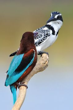 """white-throated kingfisher meets pied kingfisher  To followers of this board, I will now pin most animal photos to my new board, """"2 Animals""""--Allison"""