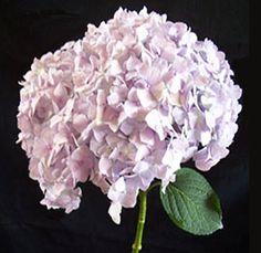 Jumbo Lavender Hydrangea Tinted Flower - 12 stems, $85.99