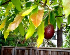 How to grow an avocado tree from the pit.  This might be fun to try to do for an indoor potted tree.