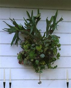 Staghorn fern and succulents