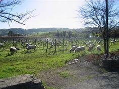 Cline winery - Sonoma CA