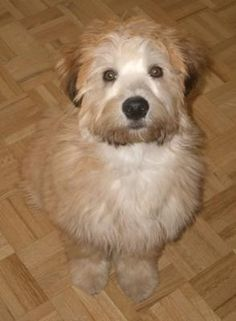 Wheaten Terrier.