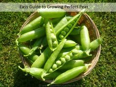 Easy Guide to Growing Perfect Peas - How to Grow, Harvest, Save Seeds & Cook Peas | The Micro Gardener