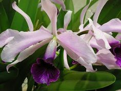 Laelia purpurata (now known as Cattleya purpurata) is one of the most spectacular orchid species. It flowers in the late spring or early summer and bears many colorful flowers.