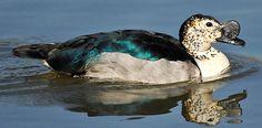 Knob-billed Duck, Kruger National Park