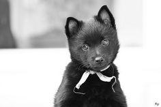 adorable schipperke pup #Schipperke http://dogtrainingvideosonline.info