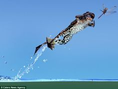 No flies on him! Astonishing shot of frog leaping for his lunch captured by wildlife master photographer    Read more: www.dailymail.co....