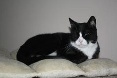 Alden is an adoptable Tuxedo Cat in New Bedford, MA. ALden is a 1 year old boy who LOVES othe cats and loves attention :)...