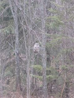 {silence} owl spotted outside the kitchen window. by pipodoll