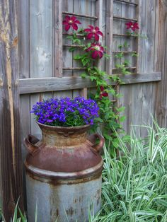 A charming, rustic setting, a milk can gives home to Lobelia 'Royal Blue' with clematis 'Niobe' nearby. ladder, garden junk, blue, garden trellis, privacy fences, milk cans, clemati, planters, flower