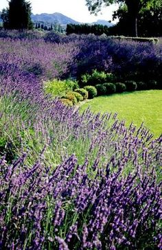 Love the Lavender planted in a row behind green bushes... makes that purple pop!