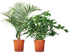 My Garden On Pinterest Betula Nigra Perennials And Bulbs 640 x 480