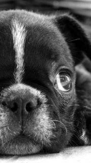 Awe foto animal, little puppies, bosten terrier, dog portrait, boston terrier, person dog, dog board, awwww, anim eye