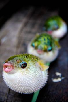 cute little puffer fish!