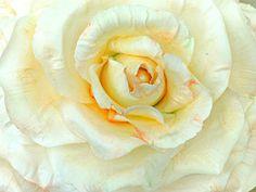 ~~ Shabby Pale Peach Cold Porcelain Rose ~~ www.facebook.com/www.myshabbypaperroses.nl