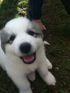 Great Pyrenees puppy :)