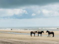 The Corolla wild horses have been residents of Currituck's Outer Banks beaches for almost 500 years.  Thankfully, they don't mind sharing!