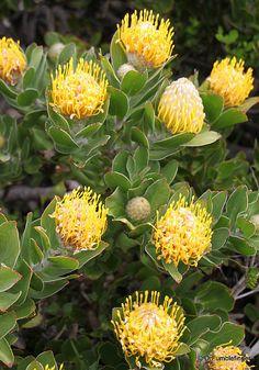 Yellow Proteas, South Africa   http://blog.travelpod.com/members/drfumblefinger