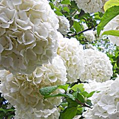 One of the best Mothers Day gifts I ever gave my Mom was a Chinese viburnum, or snowball bush. Its grown over the last fifteen years into a...