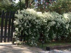 Clematis terniflora/Sweet Autumn Clematis