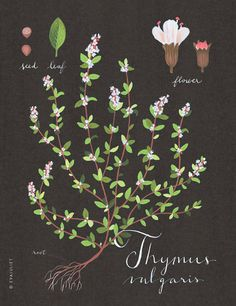 botanical print evajuliet, eva juliet, thyme print, botanical prints, herb, art, kitchen, illustr, flower