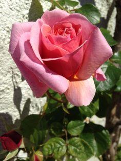 """~Rose """"Aloha"""""""