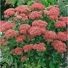 """Sedum Autumn Joy    height 20-24""""  spread 12-18""""  Hummingbirds & Butterflies, Containers, Borders, Showy Flowers, Extended Blooms, Easy to Grow"""
