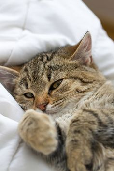 """Cats are connoisseurs of comfort."" --James Herriot"