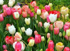 Tulips, perfect for spring!