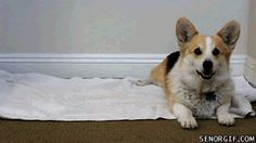 Who ordered a Corgi Wrap? :)  a furrito
