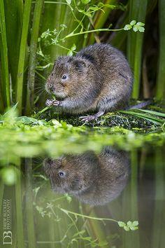Cute Water Vole - England