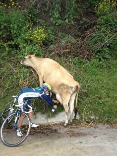 If you're thirsty enough, you'll do anything!   #cows #bicyclist #funny #humor
